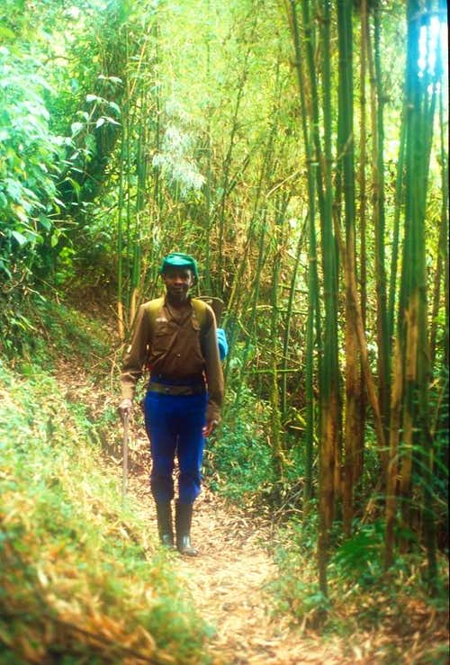 Bamboo, Rwenzori Mountains
