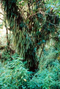 Tree with Ferns, Bujuku Valley