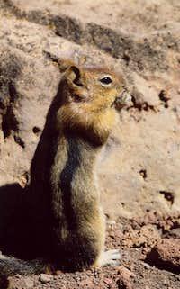 Chipmunk on the summit