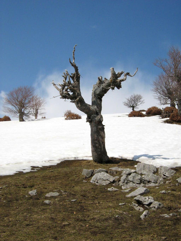 Tree near Lukomir