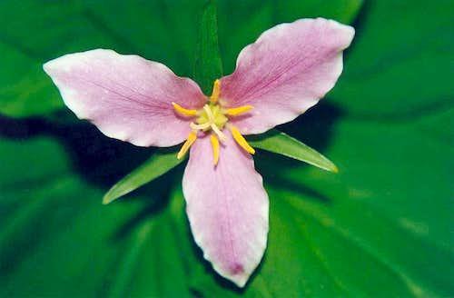White Trillium (Trillium ovatum)