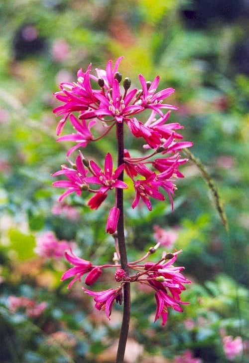 Andrew's Bead-lily (Clintonia andrewsiana)