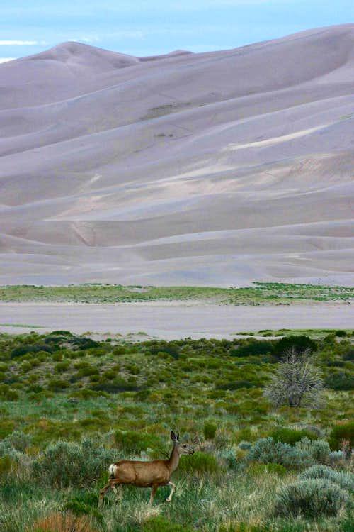 Mule Deer and Dunes
