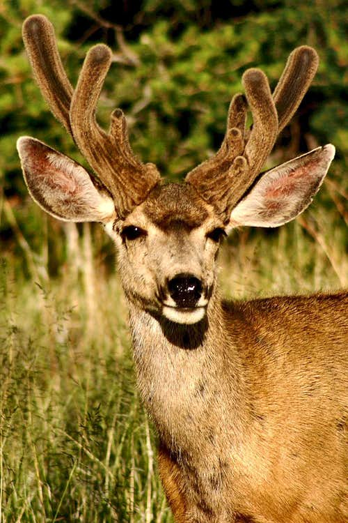Mule Deer at Great Sand Dunes National Park