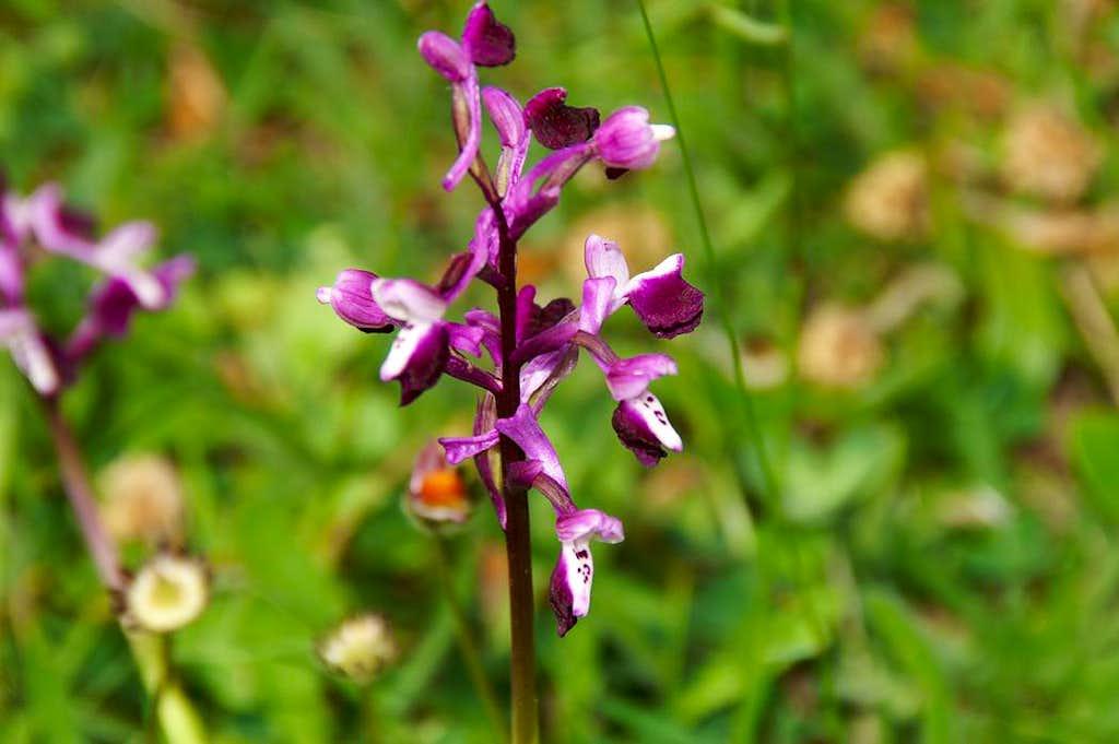 Orchis longicornu