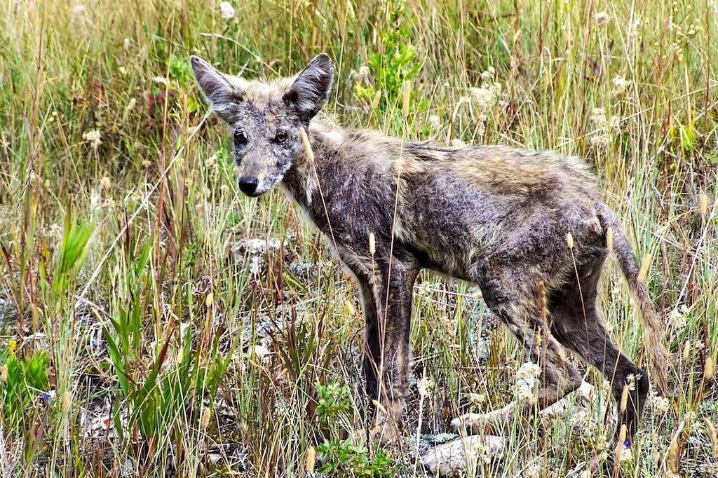 Baby Coyote : Photos, Diagrams & Topos : SummitPost