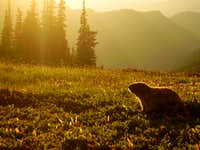 Olympic Marmot Sunset