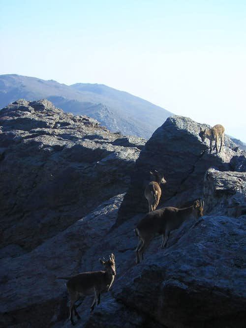 4 Ibex in Sierra Nevada