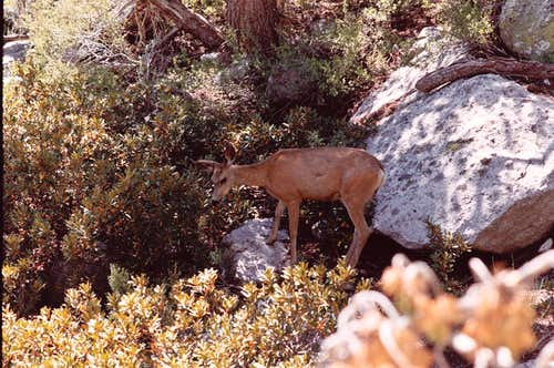 Mamma Deer Grazing along Meysan Creek Trail Aug. 13, 2006
