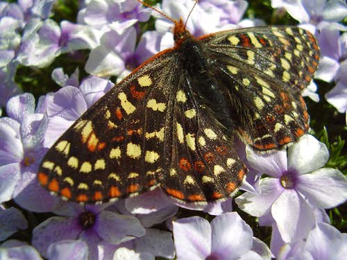 Butterfly and Phlox