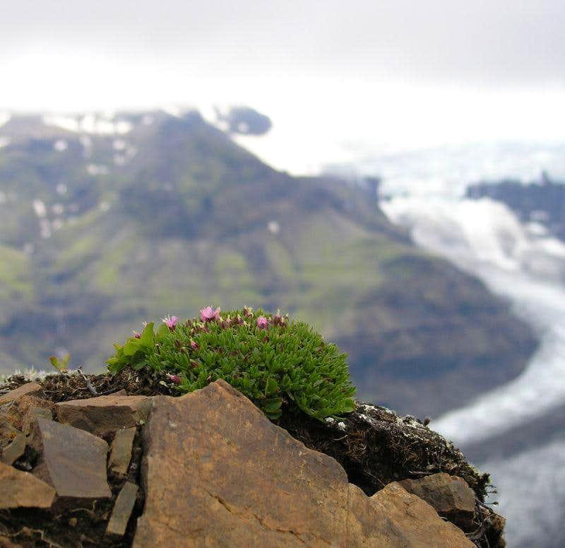 Flowers over the glacier