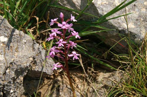 Orchis brancifortii