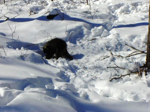 Porcupine on the Route
