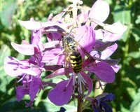 Bee on Fireweed