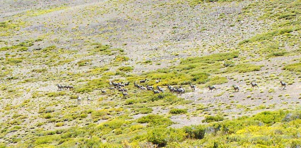 35 bighorns run across the meadows
