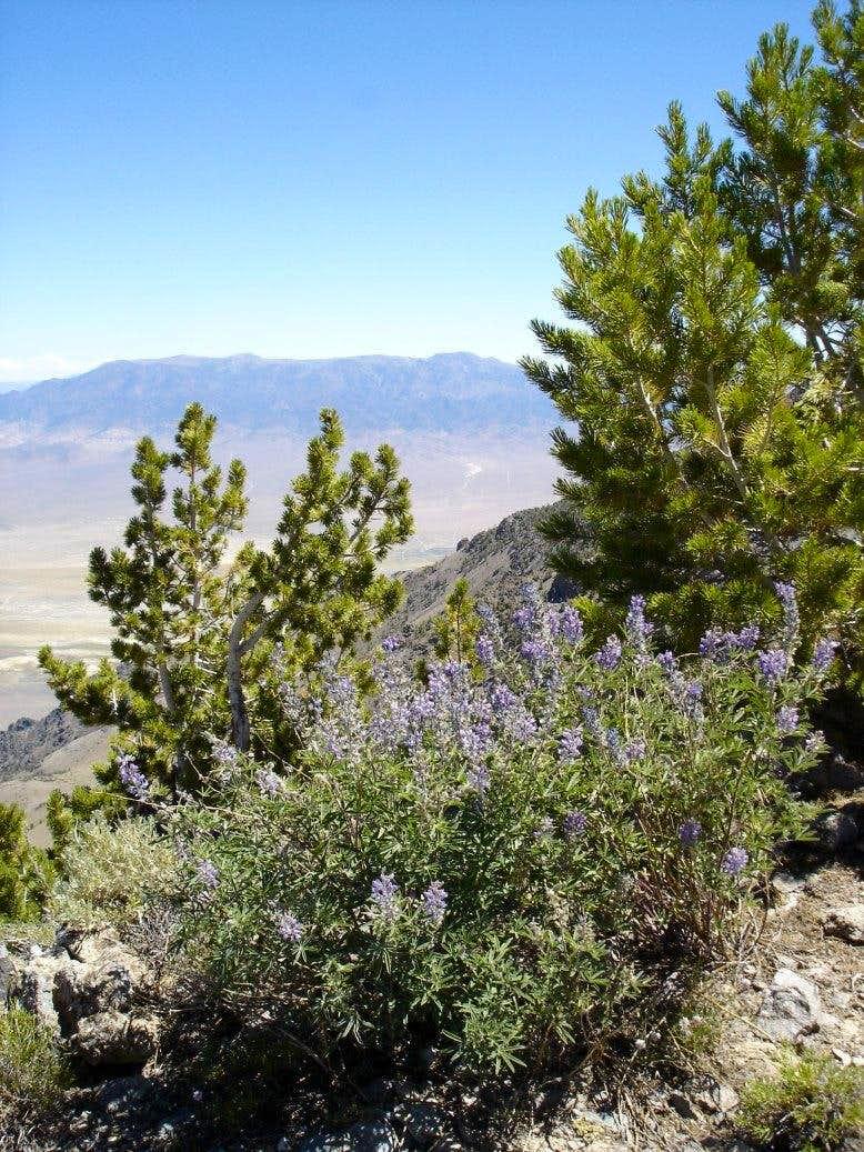 Lupines, bristlecone, and Mt. Jefferson