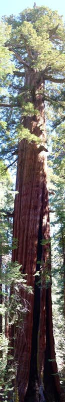 Ishi Giant Tree, Giant Sequoia Panorama