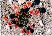 Flower at Windy Ridge