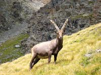 Steinbock in the Gran Paradiso Park