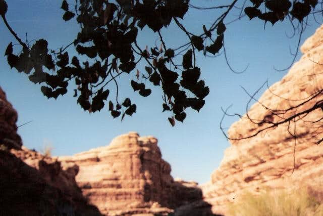 A cottonwood frames the canyon