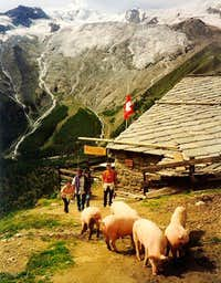 Allalinhorn as background to typical Swiss mountain pigs
