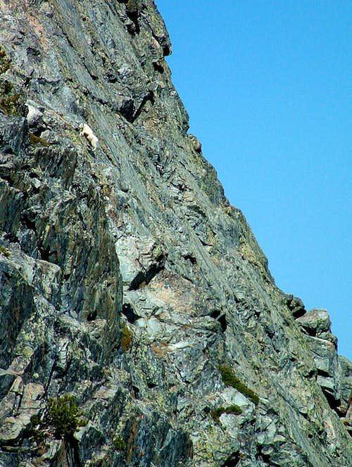 Mountain Goat on Freeman