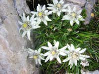 Edelweiss on Mangart Saddle