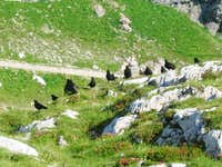Jackdaws at Mangart Hut
