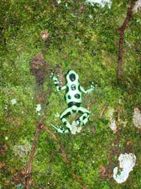 a better view of the poison dart frog