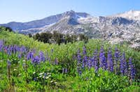 Mount Conness & Lupine