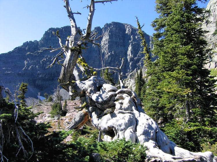 White Pine & the East Face