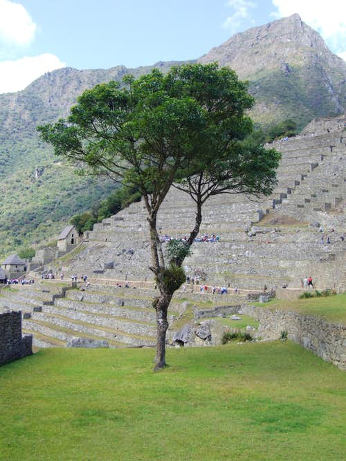 Best tree in the world, Machu Picchu 2006