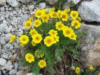 Alpine flowers in the way to Mittelaletsch glacier