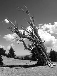 Bristlecone Pine in Black & White
