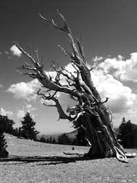 Bristlecone Pine in Black & White