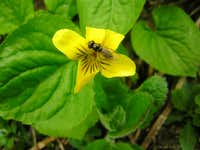 Olympic Yellow Violet & Fly