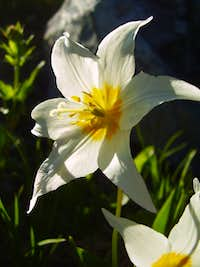 Sunlit Avalanche Lily