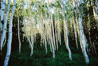 Broad's Fork Aspen Grove
