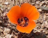Desert Mariposa Tulip
