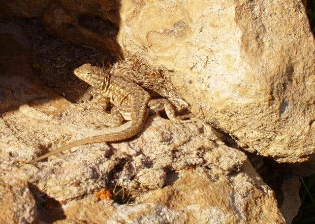 Carrizo Plain Lizard