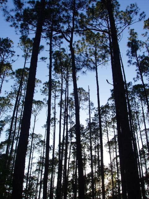 Long Leaf Pines