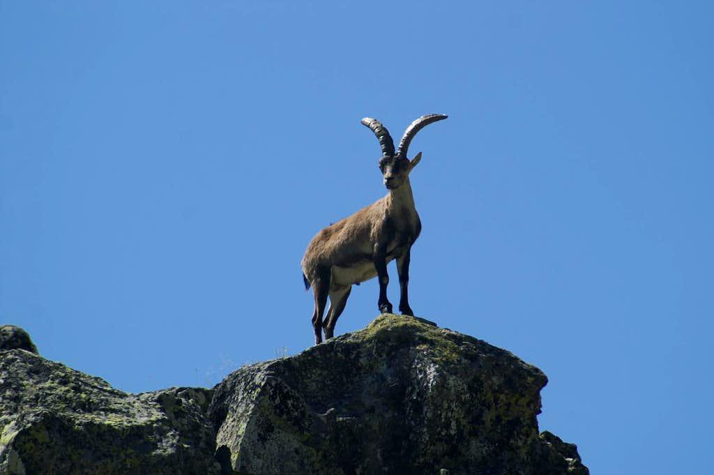 Male Gredos ibex