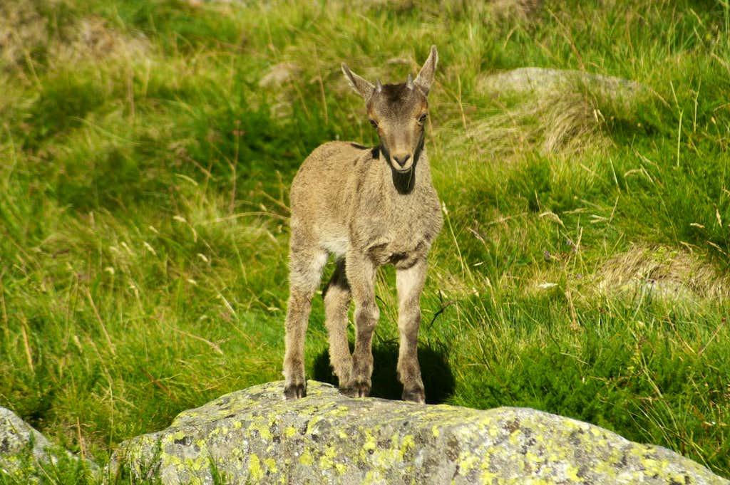 Baby Gredos ibex