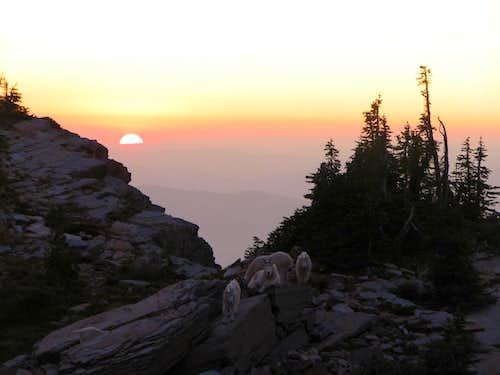 Scotchman Peak Goats