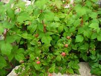 Mountain Rasberries