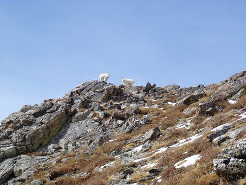 Goats near the Top