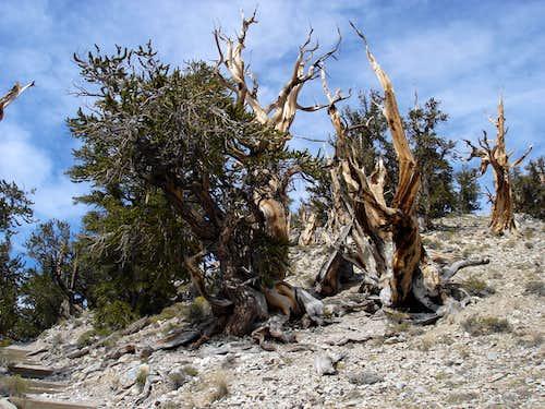 Bristol Cone pine