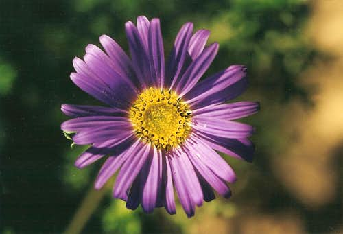 Aster-like Bloom