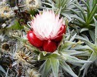 Flower on Kili