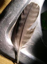 Peregrine Feather from the South Face 9-23-06